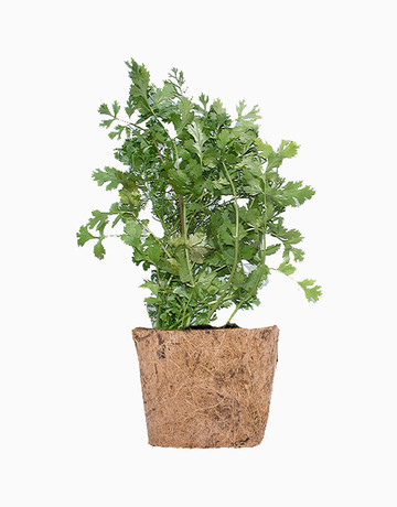 Cilantro DIY Garden Kit by Qubo